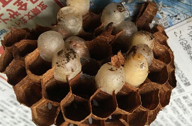 さいたま市浦和区でオオスズメバチの巣の駆除
