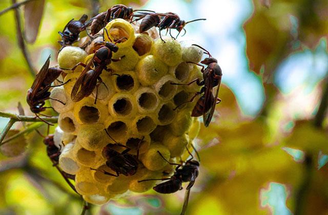 さいたま市大宮区でアシナガバチの駆除