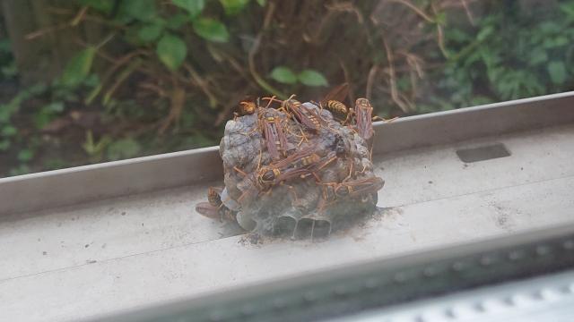 【さいたま市西区】キイロスズメバチ駆除
