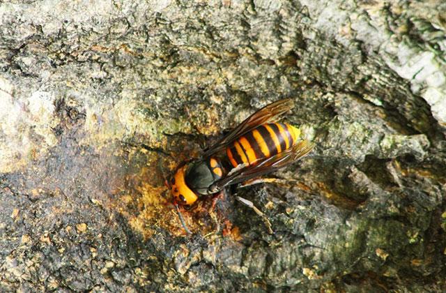 千葉市若葉区で生垣のスズメバチの駆除