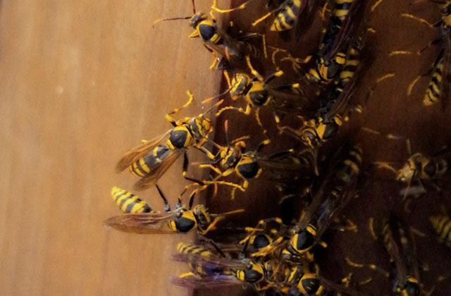 福岡市中央区で13メートルほどの高さにあるアシナガバチを駆除