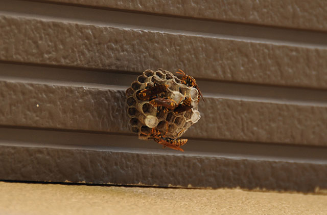 福岡市博多区でソフトボールくらいの大きさのスズメバチの巣を撤去