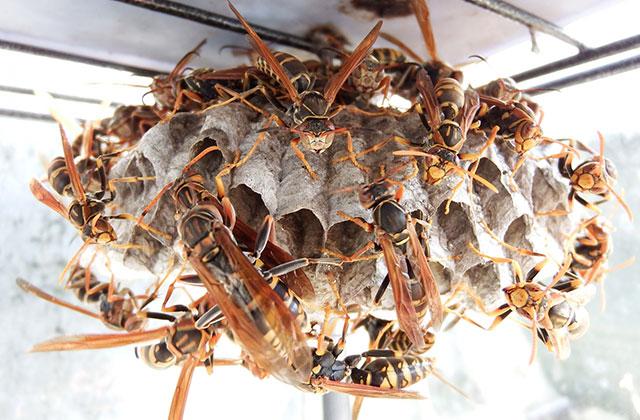 宇都宮市大曽でスズメバチの巣を駆除