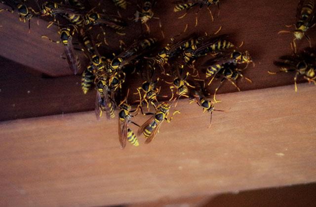 宇都宮市桜で軒下のアシナガバチの巣の駆除