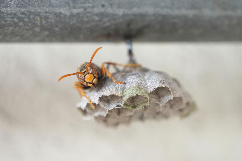 自力で駆除するスズメバチの巣の大きさは働き蜂の少ない10センチ程度まで