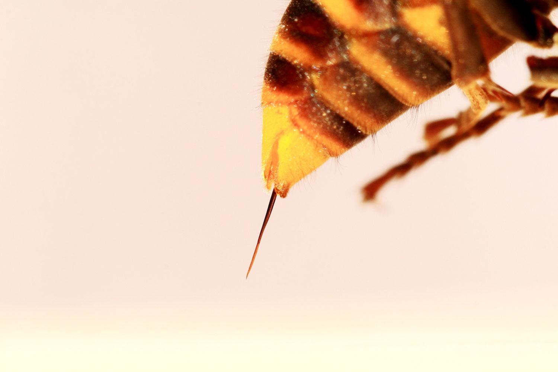 スズメバチの毒針は4〜7ミリ!軽装でのスズメバチ駆除は厳禁