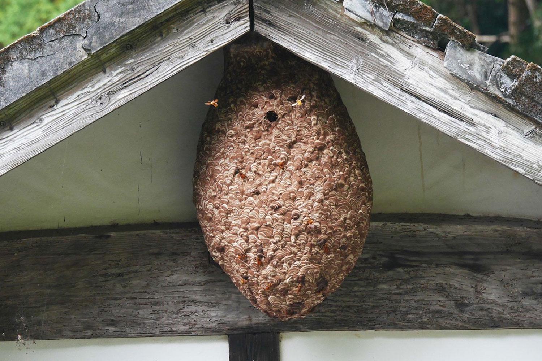 大きな巣には恐ろしい数のスズメバチがいるので自力での駆除はNG
