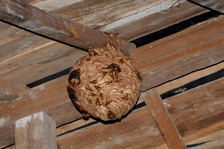 巣は逆さトックリの形から球体状・ボール状に成長していく