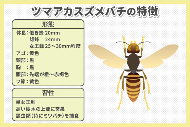 特定外来生物・ツマアカスズメバチの生態