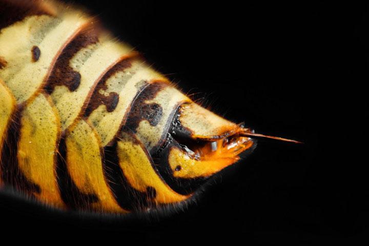 キイロスズメバチの危険性はスズメバチのなかでもかなり高い