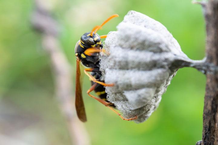 アシナガバチの巣はシャワーヘッドやハスの花托に似た形