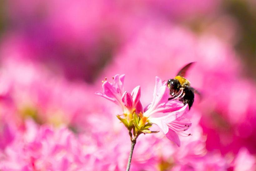 クマバチの生態について
